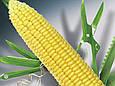 Семена кукурузы Делитоп (ФАО 220), фото 3