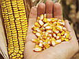 Семена кукурузы НК Кобальт ФОРС ЗЕА (ФАО 320), фото 3