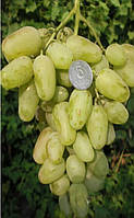 Саженцы винограда Гордей (корнесобственные)