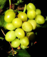 Саженцы винограда Сенатор Бурдака (корнесобственные)