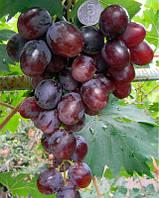 Саженцы винограда Маша (привитые)