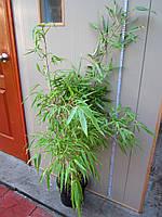 Бамбук Fargesia rufa