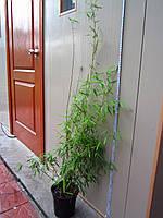 Бамбук Fargesia jiuzhaigou 1