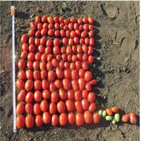 Семена томата Дино F1 1000 семян (детерминантный) НОВИНКА