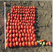 Семена томата Дино F1 5000 семян (детерминантный) НОВИНКА -  Интернет-магазин