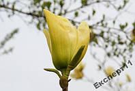 20 семян желтой магнолии / семена магнолия - 20 шт