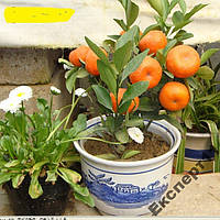 40 семян мандарина / семена мандарина 40 штук
