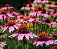 50 семян эхинацеи пурпурной / эхинацея 50 шт
