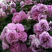 Роза кустовая 50 семян