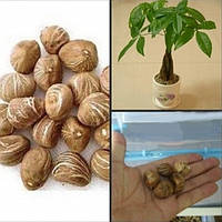 Денежное дерево - очень оригинальный дизайн растения у вас дома или в офисе ( бонсай - японское дерево) 1 семя