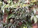 Семена Пассифлора эдулис
