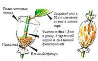Предлагаю познакомится с одним из старых способов размножения деревьев и кустарников.