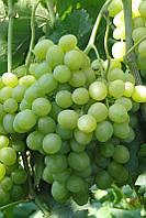 Саженцы винограда Агрус (мускат)
