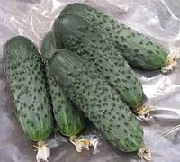 Семена огурцов Сатина F1 10 семян Nunhems. Самоопыляемый, фото 1