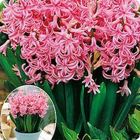 Многоцветковые гиацинты