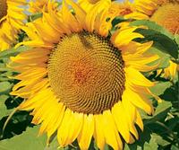 Семена подсолнечника Limagrain LG5451HO CL