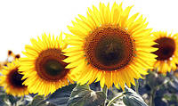Семена подсолнечника Limagrain LG5632