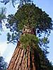 МАМОНТОВО ДЕРЕВО или СЕКВОЙЯДЕНДРОН ГИГАНТСКИЙ (Sequoiadendron giganteum)