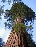 МАМОНТОВО ДЕРЕВО или СЕКВОЙЯДЕНДРОН ГИГАНТСКИЙ (Sequoiadendron giganteum), фото 1