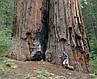 МАМОНТОВО ДЕРЕВО или СЕКВОЙЯДЕНДРОН ГИГАНТСКИЙ (Sequoiadendron giganteum), фото 6