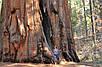 МАМОНТОВО ДЕРЕВО или СЕКВОЙЯДЕНДРОН ГИГАНТСКИЙ (Sequoiadendron giganteum), фото 7