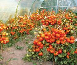 Правила полива томатов