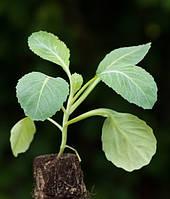 Секрети вирощування пекінської капусти