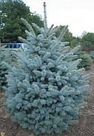 Ель голубая Глаука (25 - 30 см)