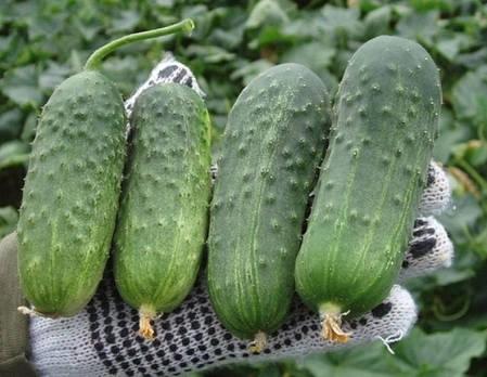Семена огурца Регал F1 (Clause) 10 г - пчелоопыляемый,  ультра-ранний гибрид (45-48 дней), фото 2