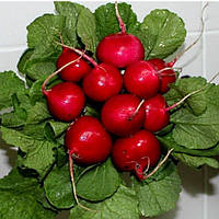 Семена редиса Диего F1 25 000 сем. (калибр. 2,75-3 мм) Hazera