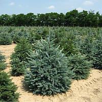 Ель зелёная Глаука (25 - 30 см)