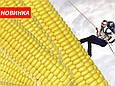 Семена кукурузы СИ Новатоп (ФАО 240), фото 2