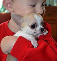 Крошечный мальчишка чихуахуа