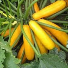 Семена кабачка Мэриголд F1 500 семян