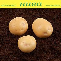 Електра насіннєва картопля кругла середньостигла 2 репродукція ipm potato group (5 кг 25 кг)