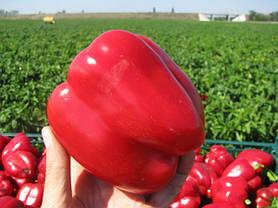 Семена перца Геркулес F1 (Clause) 50 г — среднеранний (70-75 дней), кубовидный, красный, сладкий, фото 2