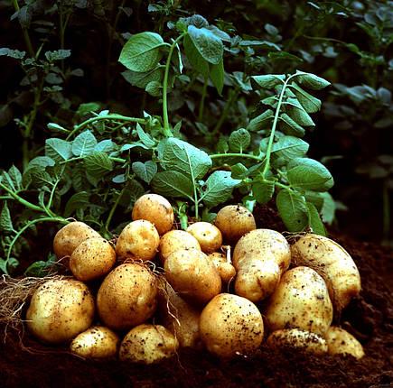 ЯРИЛО Картопля, фото 2