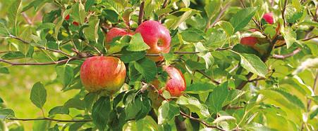 ЯРИЛО Плодовий, фото 2