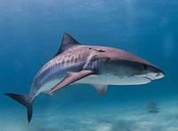Жир печени акулы.Лечебные свойства.Купить