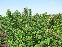 Саджанці малини