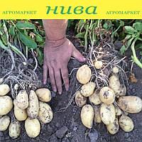 Озіріс насіннєва картопля овальна рання 2 репродукція ipm potato group 20 кг