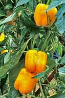 Семена перца Бачата РЦ (Bachata RZ) F1. Упаковка 100 семян. Производитель Rijk Zwaan.