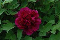 Пион древовидный Black Dragon Holds a Splendid Flower/Wu Long Peng Sheng Цветок Черного Дракона (саженцы)
