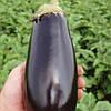 Семена баклажана Классик F1 (Clause) 5 г — ранний (70-75 дней), фиолетовый, вытянуто-овальный