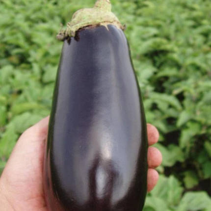 Семена баклажана Классик F1 (Clause) 5 г — ранний (70-75 дней), фиолетовый, вытянуто-овальный, фото 2