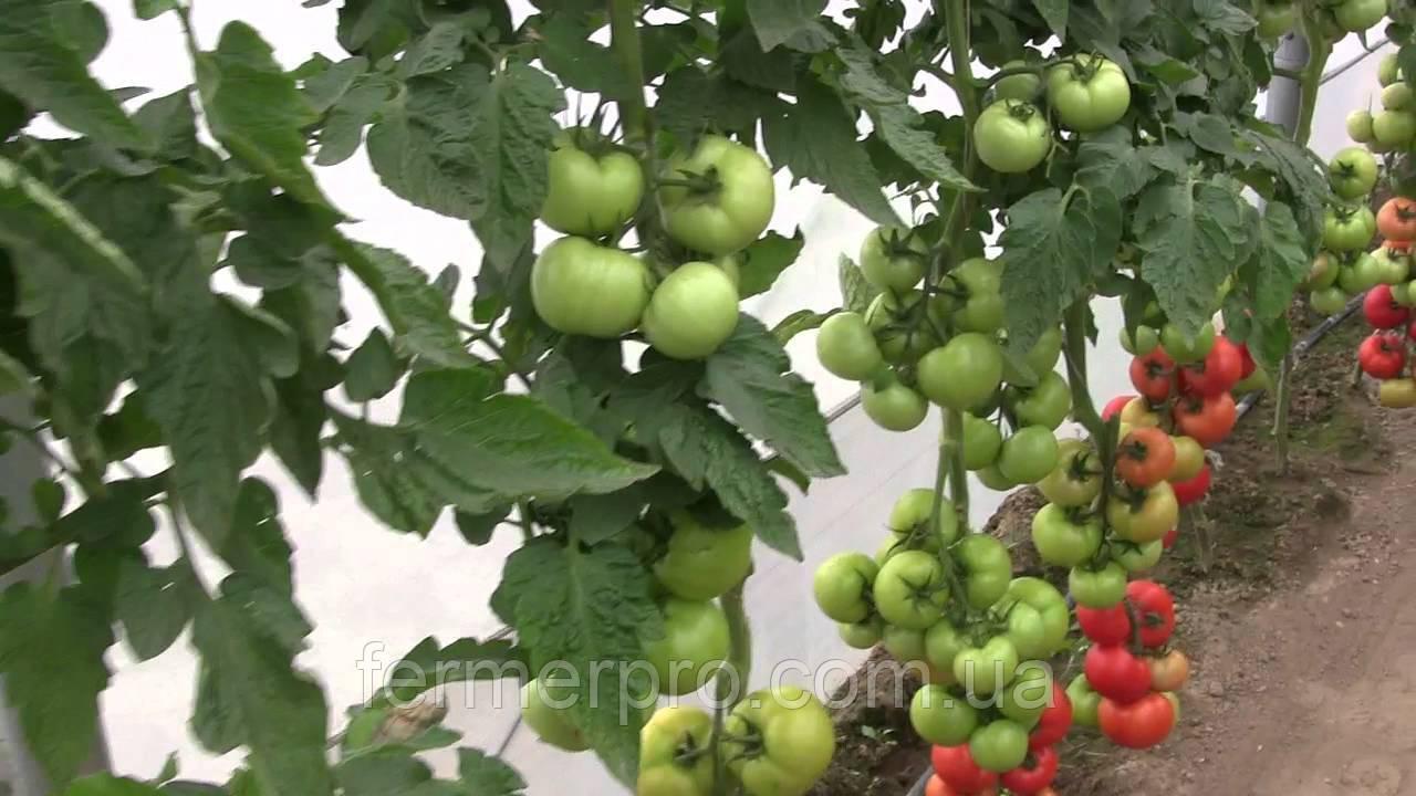 Семена томата Абелус F1 Rijk Zwaan 100 семян