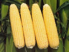 Семена кукурузы Лендмарк F1 (Clause), 10 кг — ранняя (70-73 дня), сахарная. Очень сладкая!!! , фото 2
