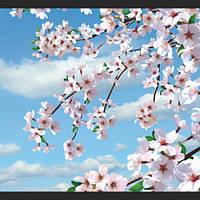 Цветущая сакура 140*145
