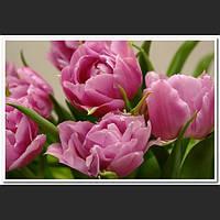 Тюльпаны m09-50