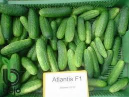 Семена огурцов Атлантис F1 10 семян. Bejo